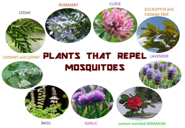 mosquito repellent plants
